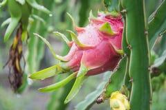 Dragon Fruit na árvore após a chuva foto de stock