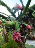 Dragon Fruit: Phetchaburi thailand Immagine Stock Libera da Diritti