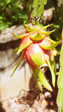 Dragon fruit or Pitaya Red Royalty Free Stock Photos