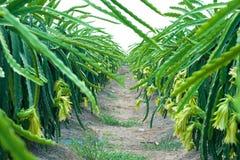 Dragon Fruit Plantation Royalty Free Stock Photography