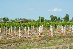 Dragon Fruit Plantation Stock Photos