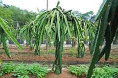 Dragon Fruit Plants Stock Photography