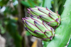 Dragon fruit  produce. In the park Royalty Free Stock Photography