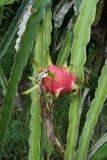 Dragon Fruit rosso Fotografia Stock