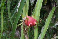 Dragon Fruit rouge Photos libres de droits