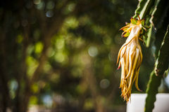Dragon fruit's drying flower Royalty Free Stock Images