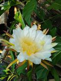 Dragon fruit flower royalty free stock photography