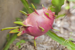A dragon fruit. Is still on it plant Stock Images