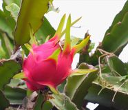 Dragon fruit on tree Stock Image