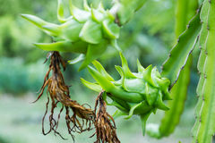 Dragon fruit is on the tree Royalty Free Stock Photo