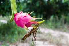 Dragon fruit is on the tree Stock Image