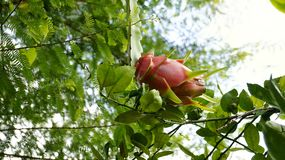 Dragon fruit. A dragon fruit is on tree with close up picture Stock Photo