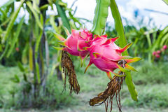 Dragon fruit is on the tree Royalty Free Stock Photography