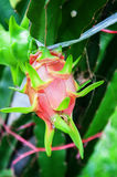 Dragon fruit on a tree in farm Royalty Free Stock Photo