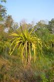Dragon Fruit Tree Stock Photo