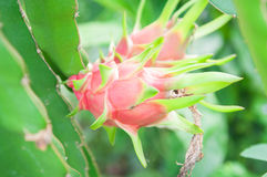 Dragon fruit on a tree in farm Royalty Free Stock Photo