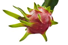 Dragon fruit on a tree isolate Stock Photography