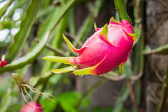 Dragon Fruit on the tree. Royalty Free Stock Photography