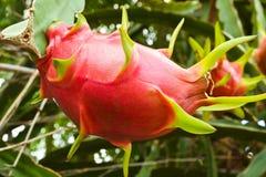 Dragon fruit on a tree royalty free stock photos