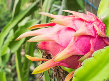 Dragon fruit on the tree. Dragon fruit ripening on the tree Royalty Free Stock Image