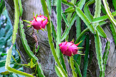 Dragon fruit on tree stump Stock Photography