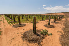Dragon fruit trees in the garden on the deserts at Phan Thiet, Binh Thuan, Vietnam Stock Photos