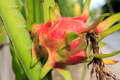 Dragon fruit,trunk and blur background. Stock Photo
