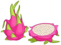Dragon fruit vector illustration. Exotic dragon fruit. Vector illustration  on white background Royalty Free Stock Photo