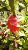 Dragon fruit Vertical photo Royalty Free Stock Image