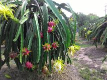 Dragon fruit. Vietnamese fresh dragon fruit garden Stock Photos