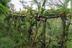 Dragon fruit vine farm plant lush foliage tropical Stock Photos