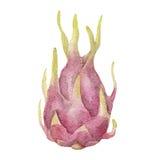 Dragon fruit. Watercolor illustration. Dragon fruit. Watercolor illustration on white background Stock Image