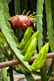 DRAGON FRUIT AND YOUNG Royalty Free Stock Image