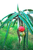 Dragon fruits Royalty Free Stock Images