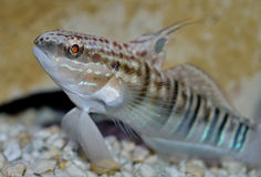 Dragon Gobyfish. The Sleeper Banded Goby, also known as the Brownbarred Goby and Bullet Goby, was first discovered in the Indo-Pacific Ocean by Valenciennes in Stock Image