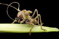 Dragon headed katydid nymph found in malaysia. stock photo