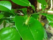 Dragon hopper on the leaf Stock Image