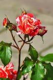 Dragon Hybrid Rose preto raro bonito vermelho e branco fotografia de stock royalty free