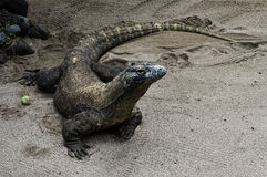 The Dragon / Komodo Stock Photo