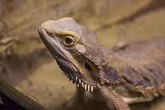 Dragon like lizzard. Dragon like exotic lizzard watching through glass Royalty Free Stock Photos