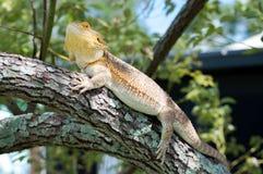 Dragon On Limb barbuto Immagini Stock Libere da Diritti
