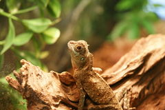Dragon lizard. Picture of a water dragon lizard royalty free stock photos