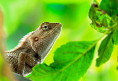 Dragon Lizard Photo stock