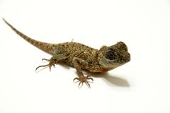 Dragon Lizard. Picture of a water dragon lizard isolated on the white background stock images