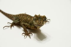 Dragon Lizard Royalty Free Stock Photography