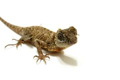 Dragon Lizard Stock Photography