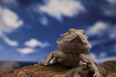 Dragon Lizard Fotografia Stock