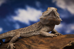 Dragon Lizard Immagini Stock