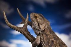 Dragon Lizard Fotografie Stock Libere da Diritti