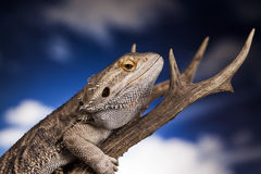 Dragon Lizard Fotografia Stock
